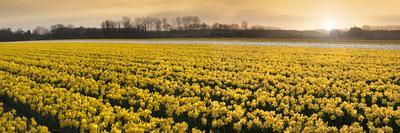 Daffodil Flower Fields in Famous Lisse, Holland