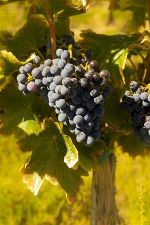 Washington State, Royal City. Grenache Grapes on the Royal Slope in the Columbia River Valley
