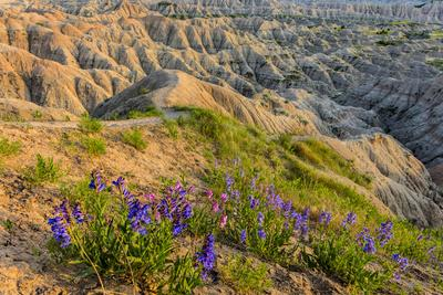 Penstemon Wildflowers in Badlands National Park, South Dakota, Usa