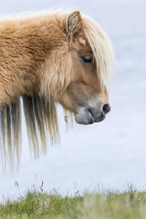 Shetland Pony on the Island of Foula, Part of the Shetland Islands in Scotland