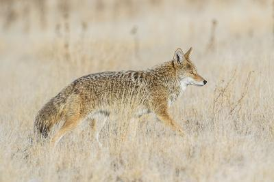 Utah, Antelope Island State Park, an Adult Coyote Wanders Through a Grassland