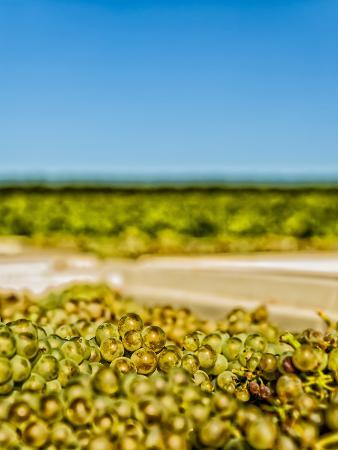 Washington State, Yakima Valley. Chardonnay Harvest in a Vineyard