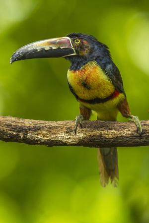 Central America, Costa Rica, Sarapiqui River Valley. Collared Aracari Bird on Limb