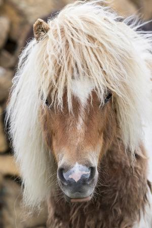 Shetland Pony on the Island of Unst, Part of the Shetland Islands in Scotland