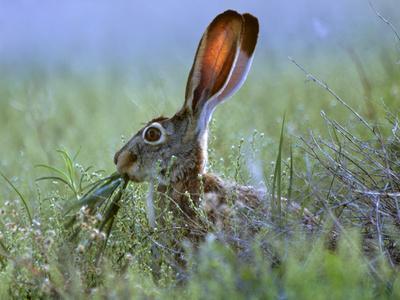Jack Rabbit Usa >> Black Tailed Jackrabbit Eating Grass New Mexico Usa