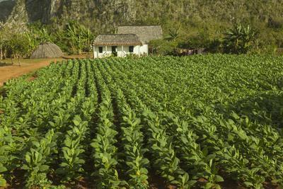 Cuba, Vinales. a Field of Tobacco Ready for Harvesting on a Farm in the Valley