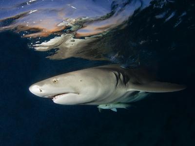 Lemon Shark on Patrol Below Surface at Dusk in Bahamas a Shark Sanctuary