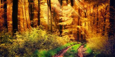 Panorama of a Beautiful Forest in Autumn Colours, with Warm Rays of Light Falling Unto a Path