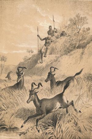 The Hartebeest, c1880