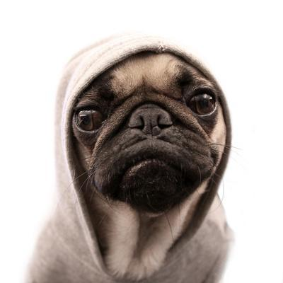 Thug Pug