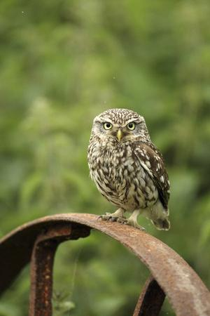 Little Owl (Athene Noctua) Perched on a Rusting Iron Wheel, Essex, England, UK, June