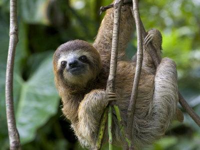 Young Brown-Throated Three-Toed Sloth Hanging from a Branch