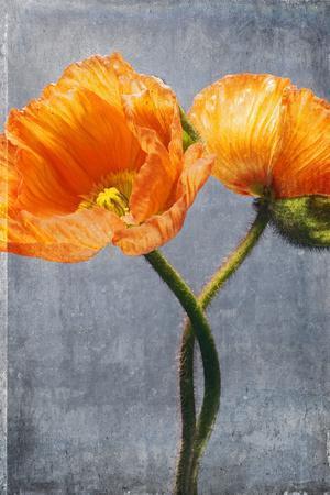 Poppy, Blossoms, Still Life