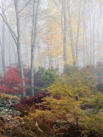 Japanese Maple Trees in the Fog