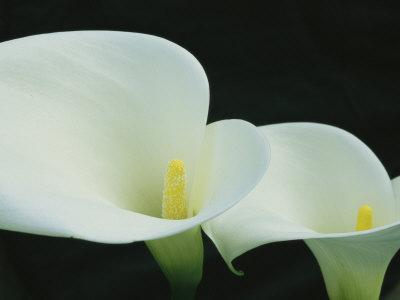 Close View of a Pair of Calla Lilies
