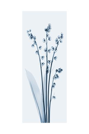 Lily of The Valley in Blue II
