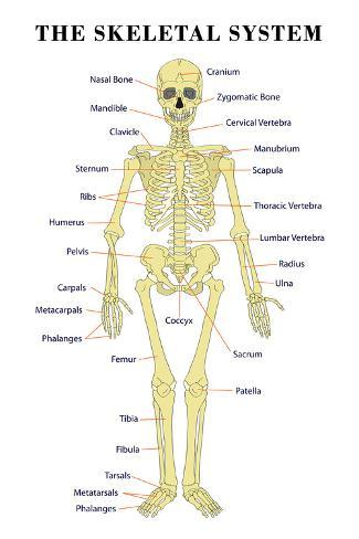 The Skeletal System Anatomical Chart Scientific Poster Print Print At Allposters Com
