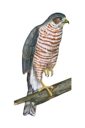 Sharp-Skinned Hawk (Accipiter Striatus), Birds