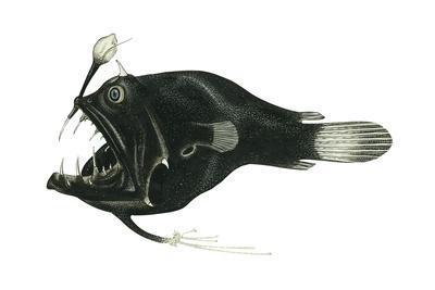 Devil Angler (Linophryne Bicornis), Deep Sea Fishes