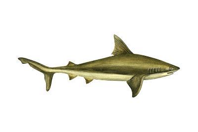 Brown Shark (Carcharhinus Milberti), Fishes