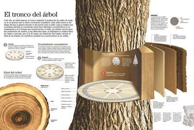 Infografía De Las Partes Del Tronco De Un Árbol Y Cómo Se Produce El Crecimiento Del Mismo
