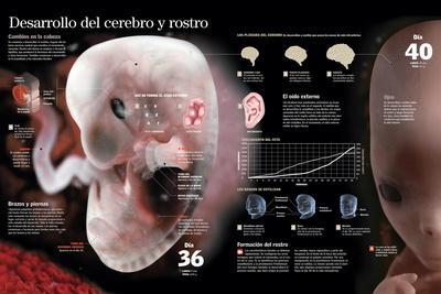 Infografía Del Desarrollo Fetal Hasta El Día 40, Cambios Importantes En El Cerebro Y En El Rostro