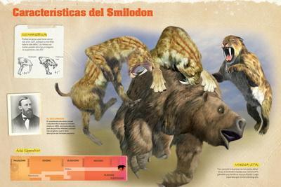 Infografía Del Smilodon, Felino Prehistórico Del Pleistoceno