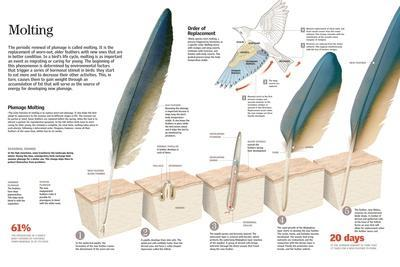 Infographic of the Process of Renewal of Feathers and Order Functions and Molt Plumage of Birds