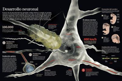 Infografía Del Cerebro En El Feto a Partir Del Tercer Mes Y Complejidad De Su Sistema Neuronal