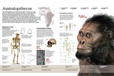 Infographic of the Australopithecus, One of the First Bipedal Hominids