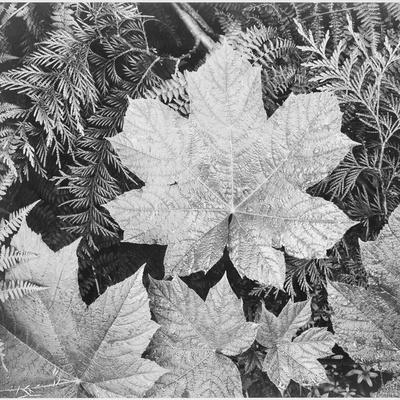 """Of Leaves From Directly Above """"In Glacier National Park"""" Montana. 1933-1942"""