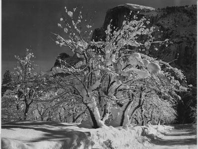 """Trees With Snow On Branches """"Half Dome Apple Orchard Yosemite"""" California. April 1933. 1933"""
