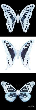 Miss Butterfly X-Ray Pano II