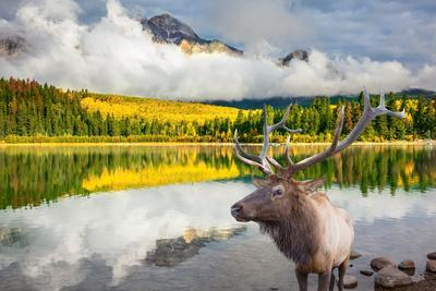 Jasper National Park in the Rocky Mountains of Canada. Proud Deer Antlered Stands on the Banks of T