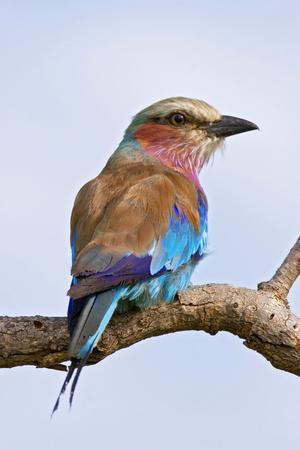 Lilacbreasted Roller; Coracias Caudata; South Africa