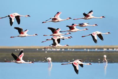 Lesser Flamingo, Phoenicopterus Minor. Photographed in Flight at the Wetlands South of Walvis Bay N