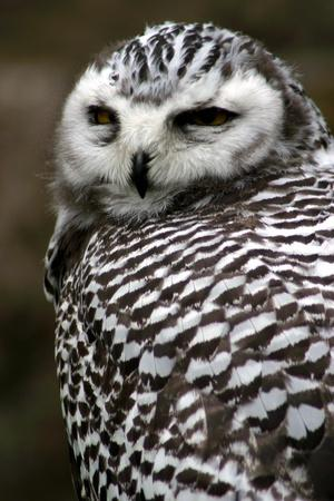 Portrait of a Majestic Spotted Owl