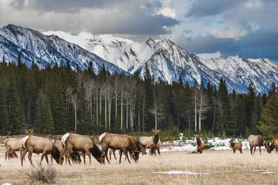 Wild Mountain Elk, Banff National Park Alberta Canada