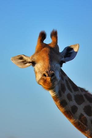 Close-Up Portrait of a Giraffe ; Giraffa Camelopardalis