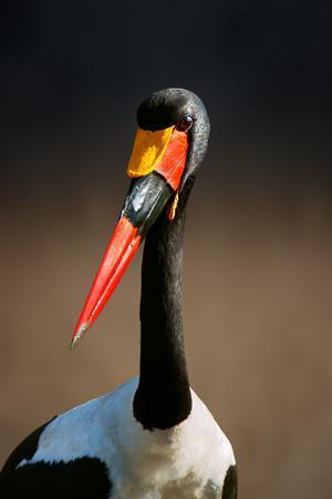 Saddle-Billed Stork (Ephippiorhynchus Senegalensis) Portrait Close-Up - Kruger National Park (South