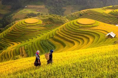 Rice Fields on Terraced of Mu Cang Chai, Yenbai, Rice Fields Prepare the Harvest at Northwest Vietn