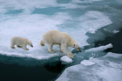 High Angle of Mother Polar Bear and Cub Walking on Ice Floe in Arctic Ocean North of Svalbard Norwa