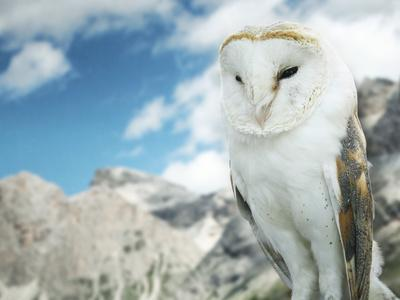 Beautiful Barn Owl in to the Wild Nature