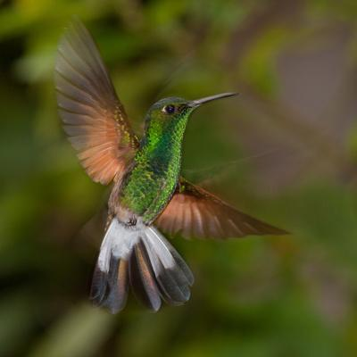 Coppery-Headed Emerald (Elvira Cupreiceps) Hummingbird in Flight