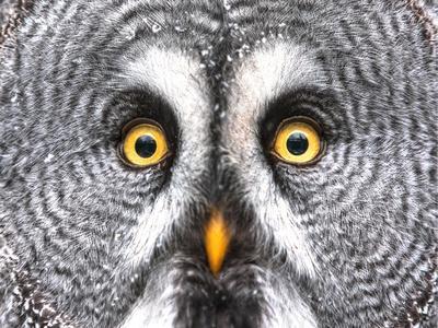 Amazed Great Grey Owl Hdr