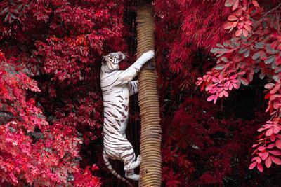 The White Tiger.