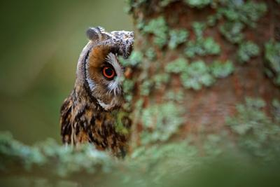 Hidden Portrait Long-Eared Owl with Big Orange Eyes behind Larch Tree Trunk, Wild Animal in the Nat