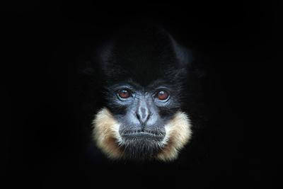 Yellow-Cheeked Gibbon, Nomascus Gabriellae, Detail Portrait of Wild Monkey. Art View of Beautiful A