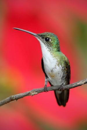 Small Himmngbird Andean Emerald Sitting on the Branch with Red Flower Background. Wildlife Scene Fr