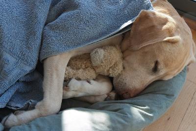 Labrador Sleeping and Hugging a Teddy Bear
